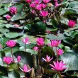 Pink lotus blossoms or water lily flowers in pond — Stock Photo