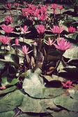 Rosa lotus blommor eller näckros blommor i damm, vintage stil — Stockfoto