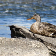 Foto de Stock  : Female Mallard Duck