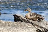 Kadın yeşilbaş ördek — Stok fotoğraf