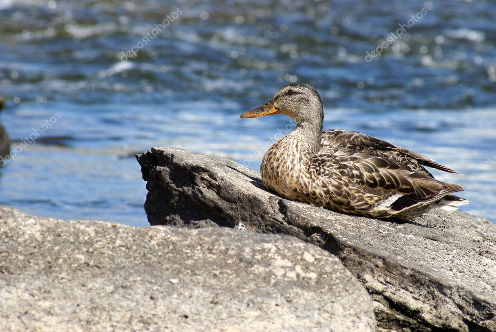 A female mallard duck rests on a rock to soak up the morning sunshine. — Stock Photo #11904053