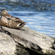 Stock Photo: Female Mallard Duck