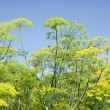 Green dill, blue sky — Stock Photo