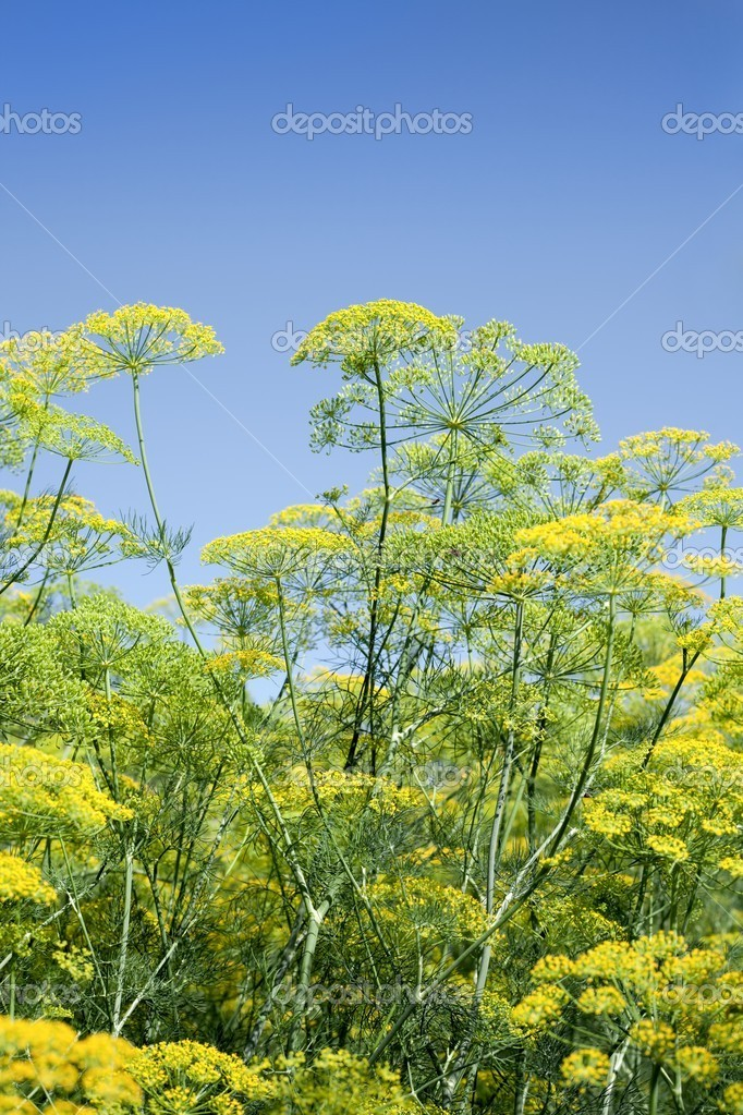 Green dill with seeds - fresh organic healthy food, spice — Stock Photo #11380362
