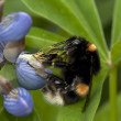 Foto Stock: Bumblebee on flower