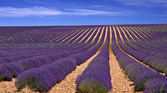 Lavander field in Provence,France — Stock Photo