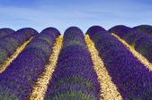 Lavander field in Provence,France — Stock Photo