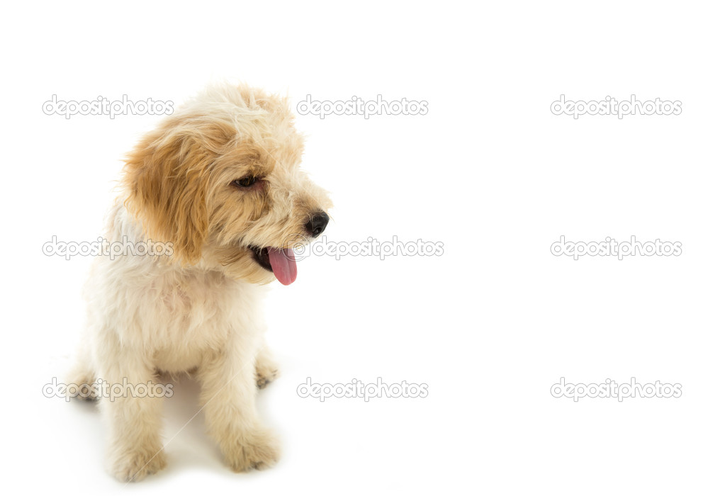 Puppy dog isolated on  white background — Stock Photo #11013339