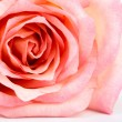 Beautiful pink rose  isolated on white background — Stock Photo