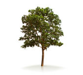 Tree isolated on a white background — Stock Photo