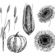 Stockvector : Wheat, corn, pumpkin and sunflowers