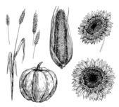 Tarwe, maïs, pompoen en zonnebloemen — Stockvector