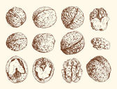 Walnuts — Stock Vector