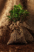 дерево готовы быть посажены — Стоковое фото