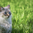 Stock Photo: Blue eyed cat