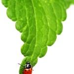 Ladybug on leaf — Stock Photo
