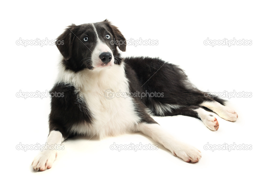 8 month old Border Collie  Stock Photo #10839248
