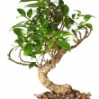 Stock Photo: Bonsai tree isolated on white