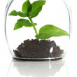 Plant protected in glass — Stock Photo