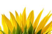 Petals of a sunflower — Stock Photo