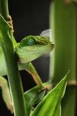 Anole lizard sleeping — Stock Photo