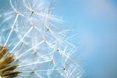 Dandelion - shallow dof — Stock Photo