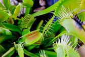 Dionaea muscipula #2 — Stockfoto