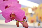 Orchid blooms — Stock Photo