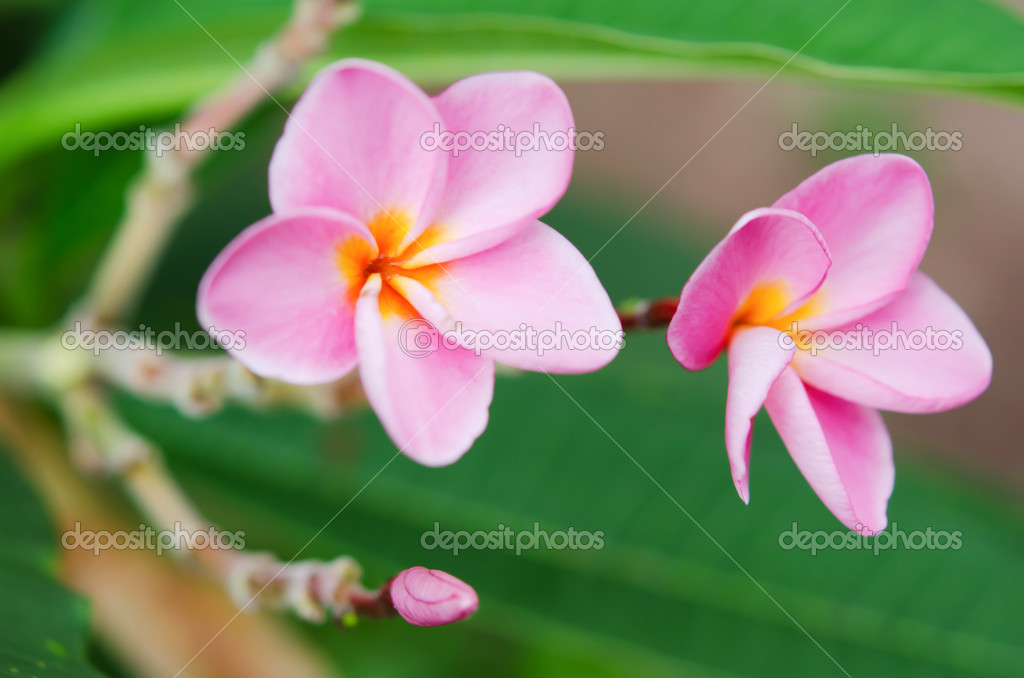 Fresh plumeria flowers in the garden — Stock Photo #11861537