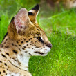 Profile portrait of serval (felis serval) — Stock Photo