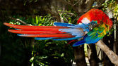 Red and blue macaw grooming while roosting on branch — Stock Photo