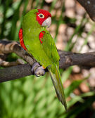Red and green parrot roosting on branch — Stock Photo