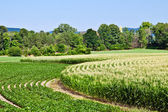 Curved rows of corn and soybeans growing in summer — Stock Photo