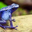 Blue poison dart frog, Dendrobates azureus, in its natural habitat with copy space - Stock Photo