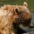 Grizzly Bear — Stock Photo #12156250