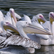 Pelicans — Stock Photo #12156282