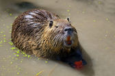 The nutria — Stock Photo