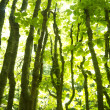 Forest of beech trees — Stock Photo