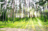 Enevoada floresta velha — Foto Stock
