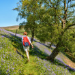 Hiker walking through bluebells — Stock Photo