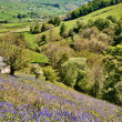 Stock Photo: Bluebells on a sunny hillside