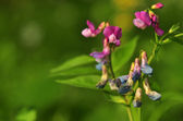 Lathyrus vernus — Stock Photo