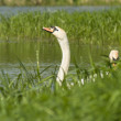 Swans and grass — Stock Photo