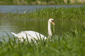 White swan and green grass — Stock Photo