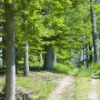 Spring beech forest — Stock Photo