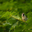 Sparrow - Passer montanus — Stock Photo