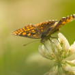 Melitaea - Stock Photo