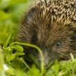 Hedgehog - Erinaceus europaeus — Stock Photo