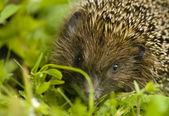 Hedgehog - Erinaceus europaeus — Stock Photo