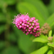 Stock Photo: Spiraea
